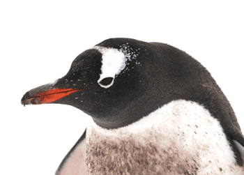 A gentoo penguin looking at me